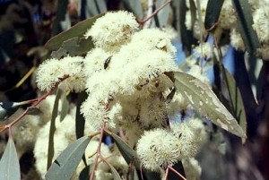Eucalyptus (Mint)