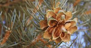 Pine (Pinon, Cones Only, Local Wildcrafter's Boutique)