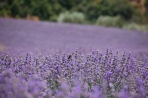 Lavender (Greece), Organic