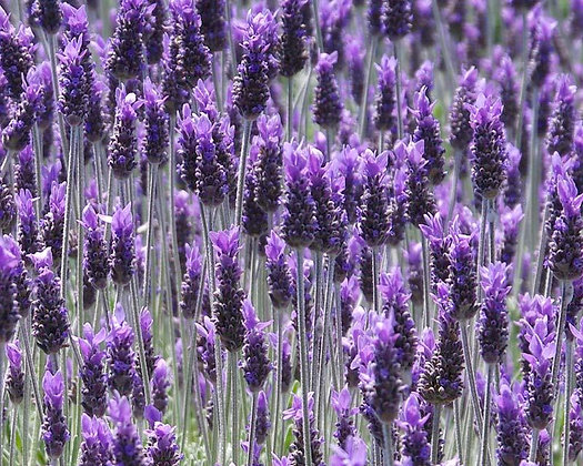Lavender (Spike, Spain)