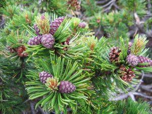 Pine (Mugo)