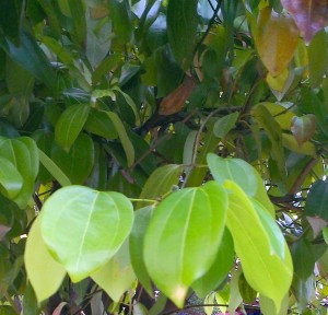 Cassia (Leaves& Branches)