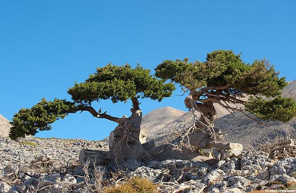 Cypress (Crete)