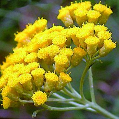 Helichrysum, Immortelle (Italicum, Albania)