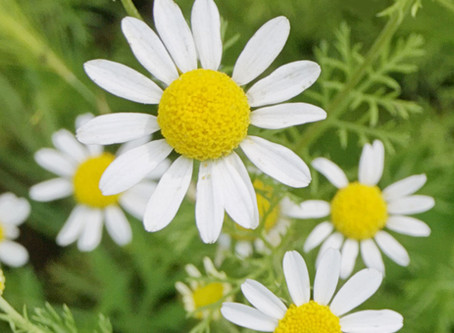 The Chamomile Family