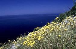 Helichrysum, Immortelle (Italicum, Corsica)