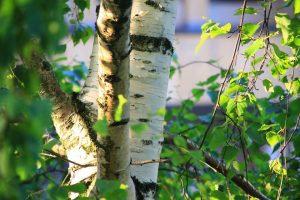 Birch (Sweet, Russia)