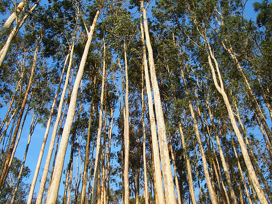 Eucalyptus (True)