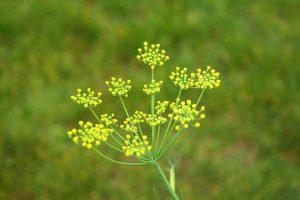 Fennel (Sweet)