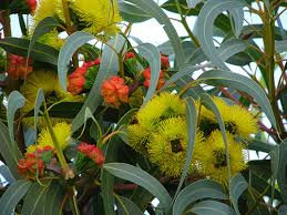 Eucalyptus (Gully Gum)