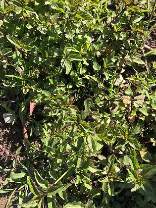 Dried Herb: Mint