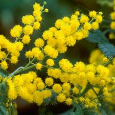 Mimosa (Absolute)