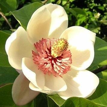 Magnolia Blossom (Steam Distilled)
