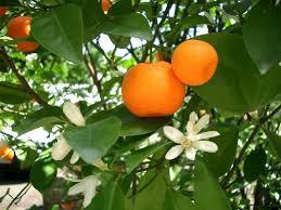Mandarin (Petitgrain)