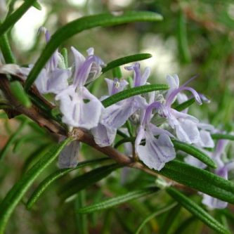 Rosemary (Cineole)