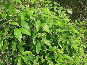 Sugandha Kokila: White Cinnamon