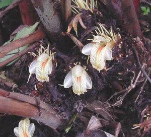 Cardamom Seed (Black, Nepal)