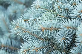 Spruce (Blue)