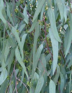 Eucalyptus (Blue Gum)