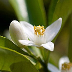 Neroli (Orange Blossom, Egypt)