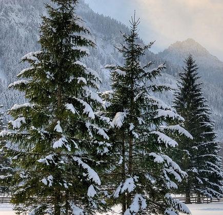 Spruce (Norway)