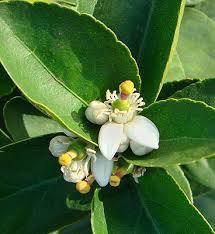 Lime (Petitgrain)