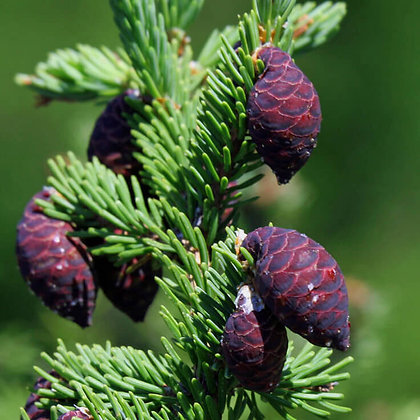 Spruce (Black)