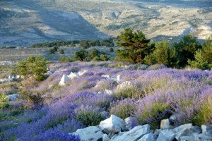 Lavender (Highland 1200-1400m, Wildcrafted, FR)