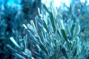 Sage (Purple, Artemisia Tritendata, Local Wildcrafter's Boutique)