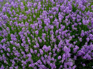 Lavender (Albanian, Wildcrafted)