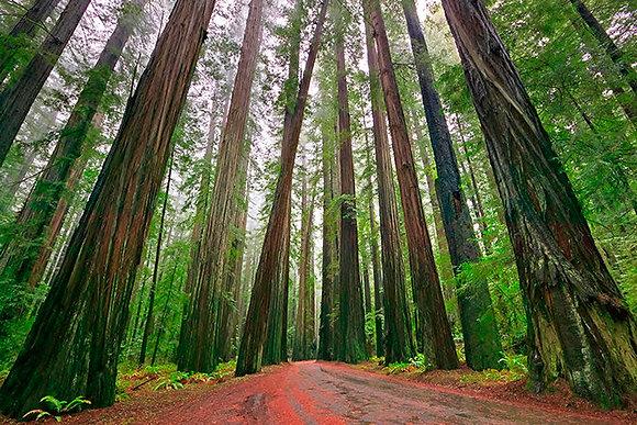 Coastal Redwood Hydrosol