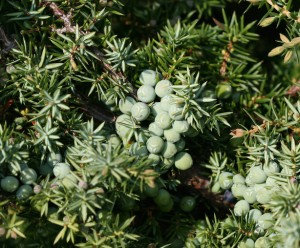 Juniper Berry (Albania, Berries Only)