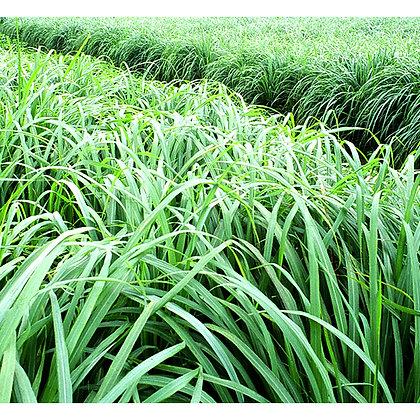 Citronella (Mana Grass)