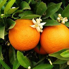 Orange (Petitgrain)