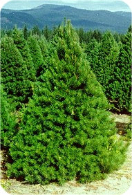 Pine (Scotch)