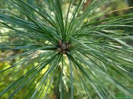 Pine (White)