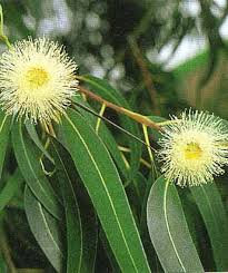 Eucalyptus (Blue Mallee-Cineole)