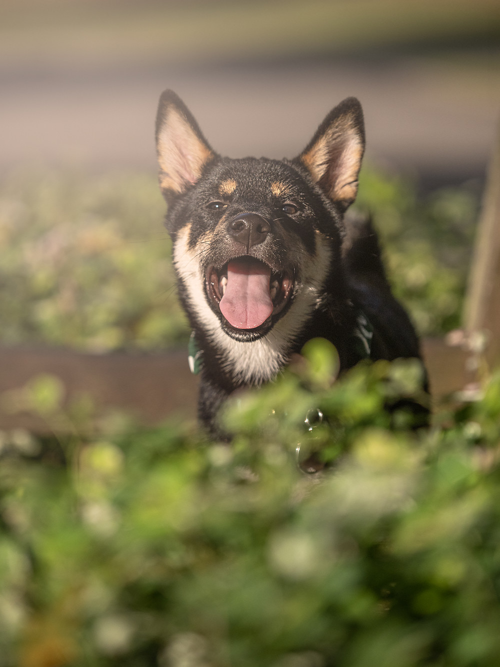 dog photography of shiba inu puppy