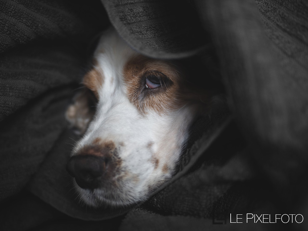 dog photography of english cocker spaniel