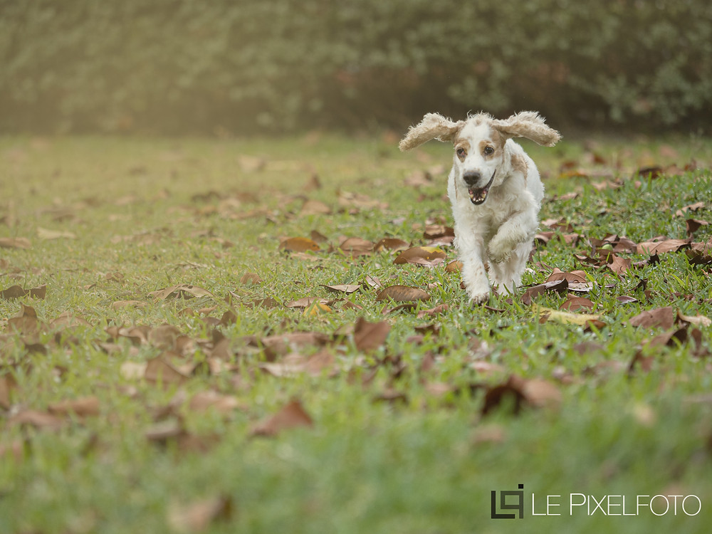 english cocker spaniel, dog photography