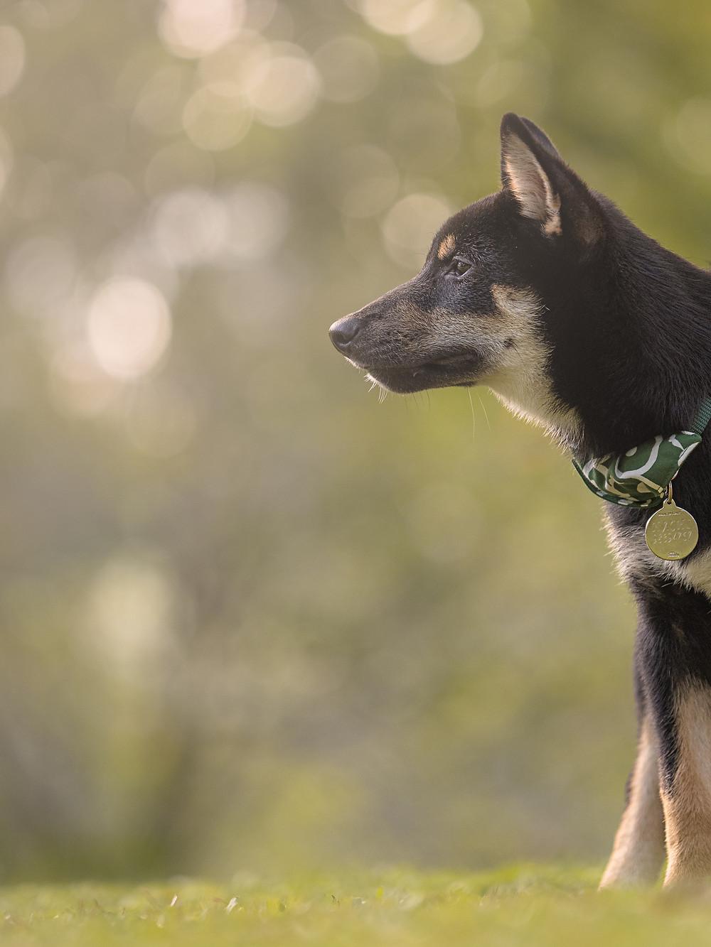 pet photography of shiba inu puppy
