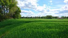 Hof am Teich - Getreideaufwuchs.JPG