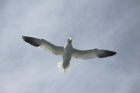 Gannet.jpg