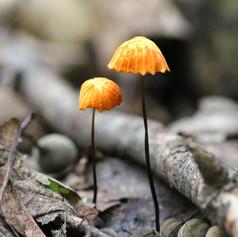 Orange Pinwheel Mushrooms