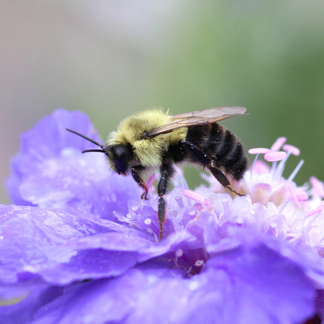 Bumble Bee on Bachelor Button