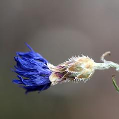 Centaurea in November