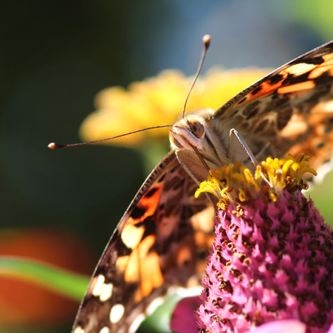 Painted Lady Butterfly on Zinnia