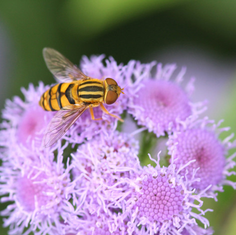 Flower Fly on Ageratum