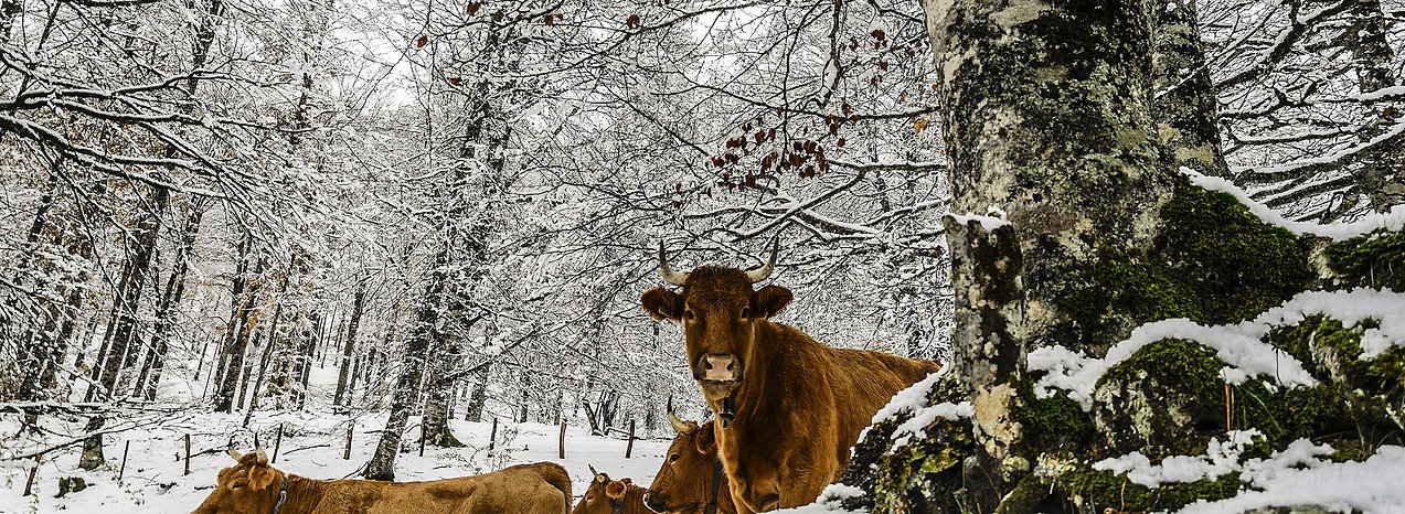 Cows%20in%20a%20Snowy%20Forest_edited.jp