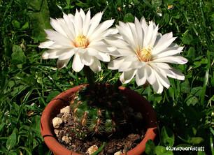 Kaktus_weisse_Blüte.jpg